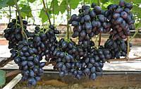 Саджанці винограду КРАСА БАЛОК раннього терміну дозрівання