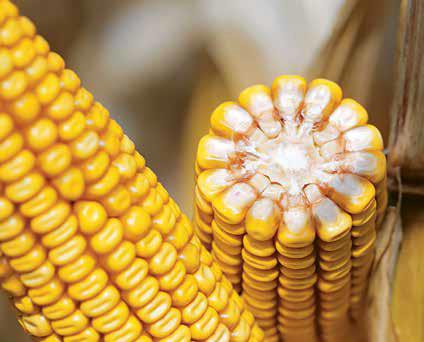 Насіння кукурудзи Адевей+ Пончо, фото 2