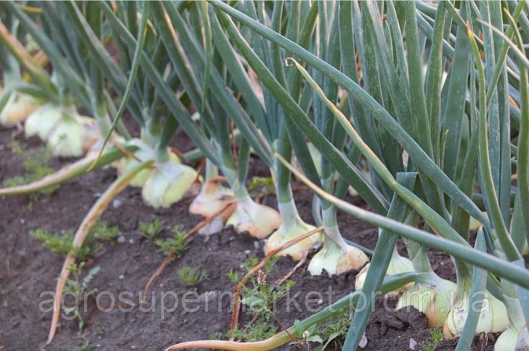 Семена лука Деподжу (Банко) F1 среднеранний, 250 000 семян (БТ Сид Турция), фото 8