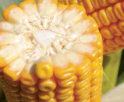 Насіння кукурудзи ДЖОДІ