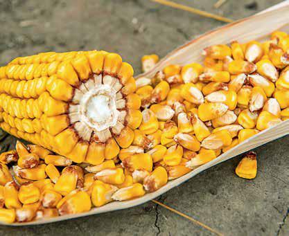 Насіння кукурудзи ЛГ 30315 /  LG 30315