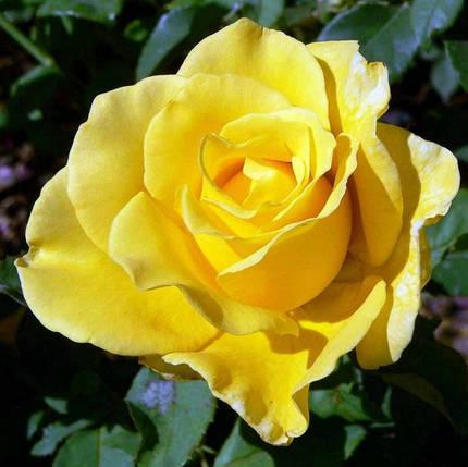 Саженцы розы Ландора (Landora), фото 2