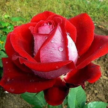 Саженцы чайно-гибридной розы Люксор (Luxor), фото 2