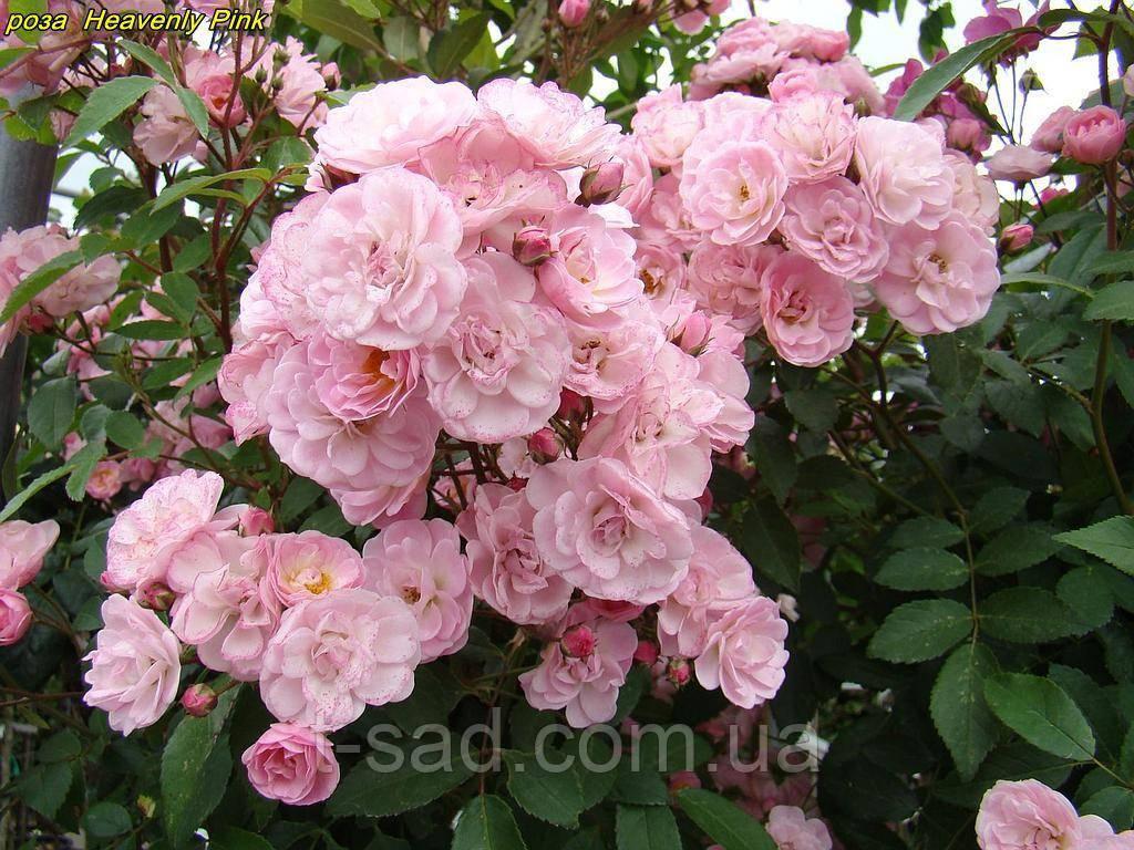Роза Heavenly Pink (Небесний рожевий)