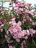 Роза Heavenly Pink (Небесний рожевий), фото 2