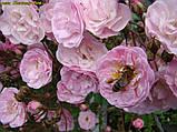 Роза Heavenly Pink (Небесний рожевий), фото 3