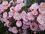 Роза Heavenly Pink (Небесний рожевий), фото 4