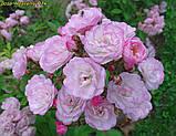Роза Heavenly Pink (Небесний рожевий), фото 5
