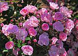 Роза Heavenly Pink (Небесний рожевий), фото 6