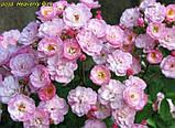 Роза Heavenly Pink (Небесний рожевий), фото 7