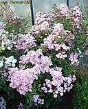 Роза Heavenly Pink (Небесний рожевий), фото 8