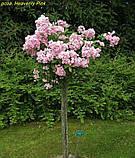 Роза Heavenly Pink (Небесний рожевий), фото 9
