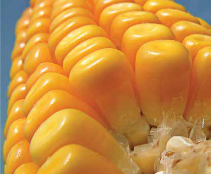 Насіння кукурудзи ЛГ 3350 /  LG 3350, фото 2