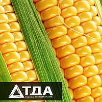 7 интересных фактов о кукурузе