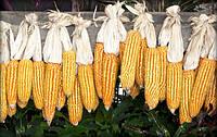 Семена Кукурузы Золотое чудо