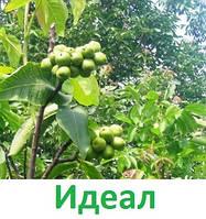 Саженцы грецкого ореха Идеал (однолетний)