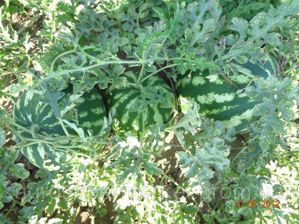 ПРОДЮСЕР/ Галактика семена арбуза банка 0.5кг (Турция Оригинал бт-сид), фото 10
