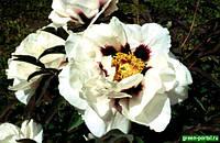 Древовидный пион: Окрас Белый