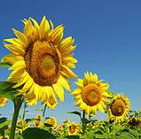Насіння соняшнику КАРЛОС 105 (Екстра), А-Е, ВНІС, фото 2