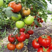 Баракуда F1 - томат индетерминантный, 1 000 семян, Lark Seeds (Ларк Сидс), США