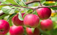 Советы опытных садоводов: как поливать яблони для повышения их урожайности