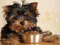 Сколько сухого корма давать мелким собакам