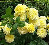 Роза Anny Duperey (Анни Дюперей), фото 2