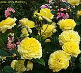 Роза Anny Duperey (Анни Дюперей), фото 3