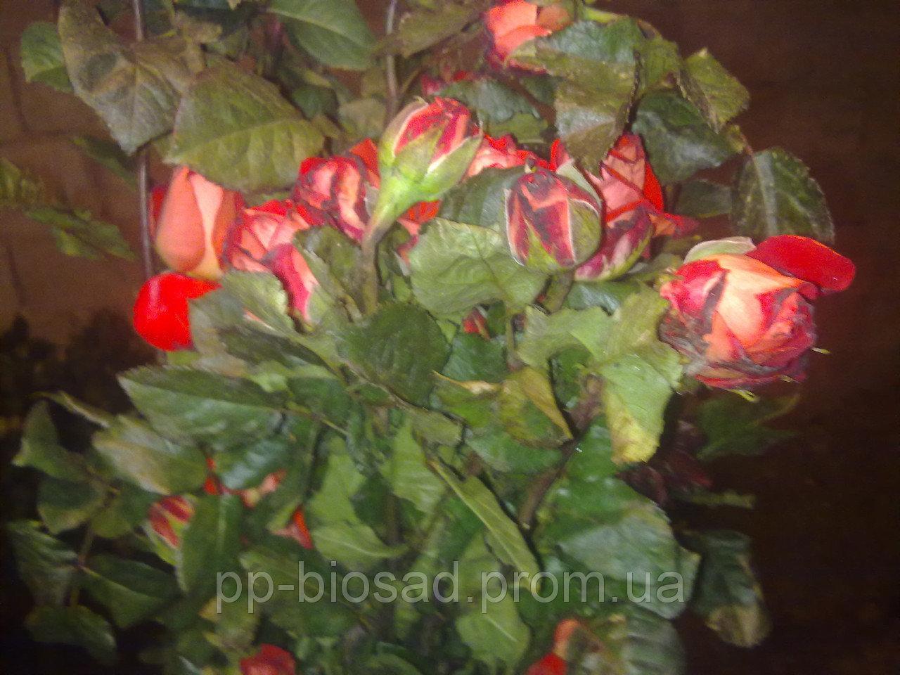 Саженцы роз в ассортименте. Опт от 1000 шт.