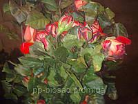 Саженцы роз в ассортименте. Опт от 100 шт.