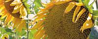 Семена подсолнечника Террамис
