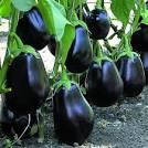 Насіння раннього Баклажан Чорний красень 0.3 грам упаковка Франція