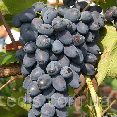 Виноград Надежда АЗОС (ранний), фото 2