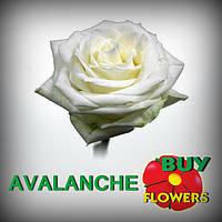 AVALANG. Аваланж роза белая 40-100 см оптом