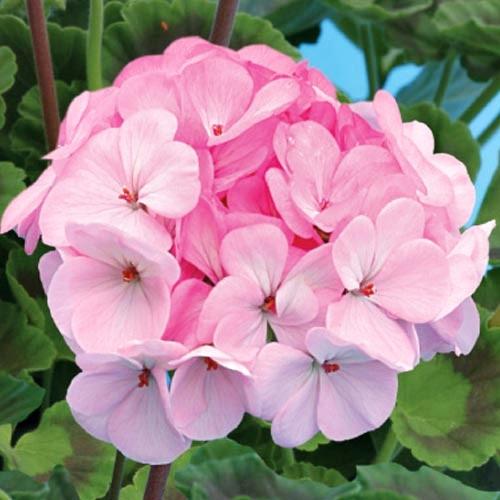 Семена Пеларгония зональная Ярка F1 светло-розовая, 10 шт, Cerny