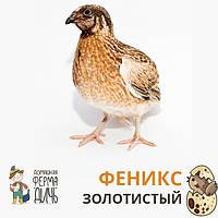 Инкубационные яйца перепелов Феникс Золотистый
