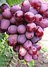Саженцы винограда ЭВЕРЕСТ раннего срока созревания