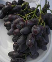 Саджанці винограду ДЖОВАННІ раннього терміну дозрівання