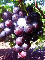 Саджанці винограду ГЕРЦОГ раннього терміну дозрівання