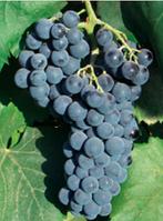 Саджанці винограду АЛИКАНТ БУШІ середнього терміну дозрівання
