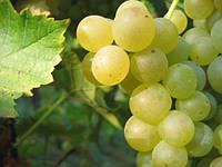 Саджанці винограду МУСКАТ ОТТОНЕЛЬ раннього терміну дозрівання, фото 1