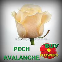 Пич Аваланж, розы персиковые