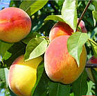Саженцы Персика Сказка - средний, урожайный, зимостойкий, фото 2