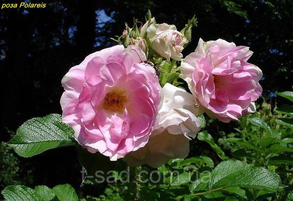 Роза Polareis (Полярный лед)