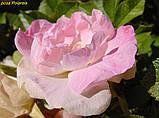 Роза Polareis (Полярный лед), фото 2