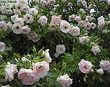Роза Polareis (Полярний лід), фото 3
