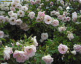 Роза Polareis (Полярный лед), фото 3