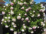 Роза Polareis (Полярный лед), фото 4