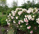 Роза Polareis (Полярный лед), фото 5