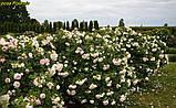 Роза Polareis (Полярный лед), фото 6